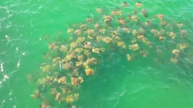 Ławica płaszczek w pobliżu Florydy. Zobaczcie niezwykłe wideo