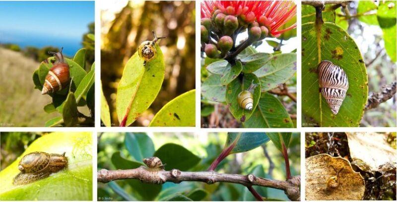 Wiele gatunków ślimaków zamieszkuje jedynie Hawaje (David Sischo)